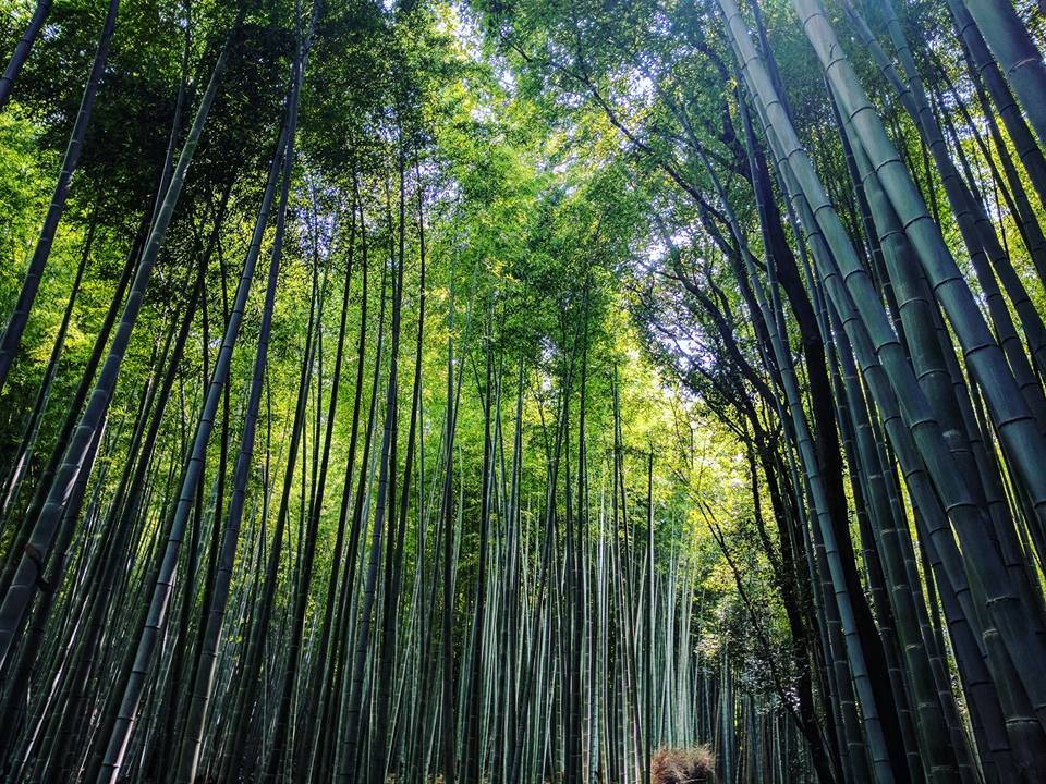 Forêt de bambous.
